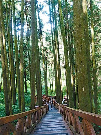 巨木群棧道。(攝影/楊宗鴻)