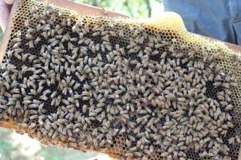 吃到農藥的蜜蜂中樞神經會失調,回不了家。(緯來提供)