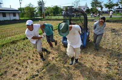 手工割稻。(倆佰甲提供)