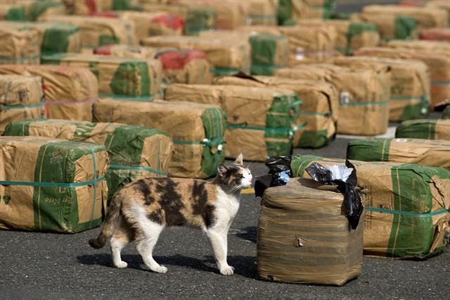 一隻貓在加州圖盧瓦的記者會上示範尋找大麻。(Getty Images)
