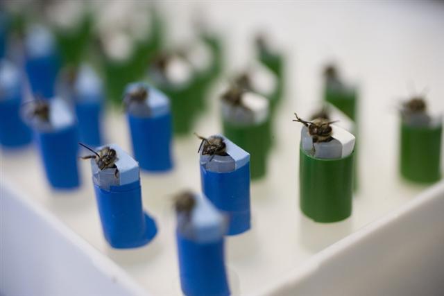能嗅炸藥的蜜蜂們正在美國新墨西哥州實驗室為它們特製的蜂巢裡面休息。(Getty Images)