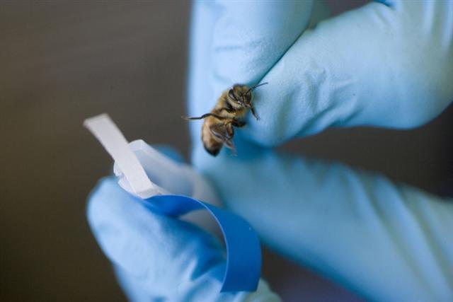 能嗅炸藥的反恐英雄——小蜜蜂準備回巢。(Getty Images)