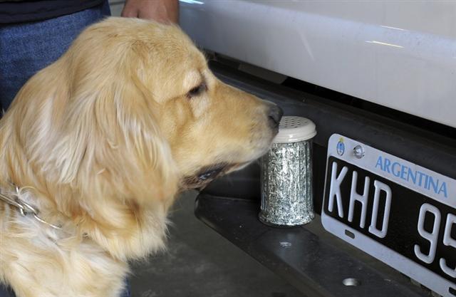 一隻狗在布宜諾斯艾利斯海關受訓辨識美元紙屑的氣味。(Getty Images)