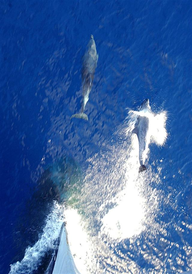 美國海軍訓練海豚在波斯灣找水雷。(Getty Images)
