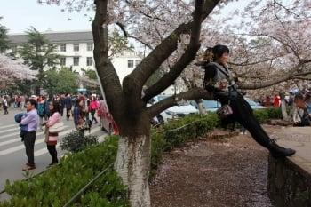 武漢大學櫻花屢遭「劫」