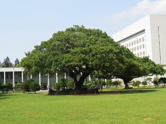 中大新的觀光景點──國泰樹。(記者陳建霖/攝影)
