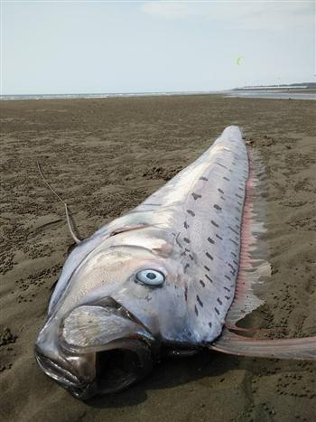竹南海域出現超大地震魚,同天宜蘭發生地震,太準了!
