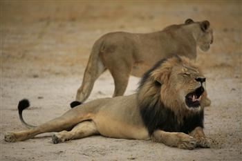 美牙醫誤殺明星獅 辛巴威不起訴