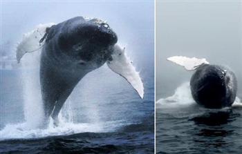 罕見照片 鯨魚背翻30多次