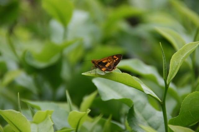 李松連的茶園宛如自然生態園。(攝影/王懿德)
