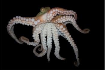章魚竟破解樂高! 英廣徵高難度玩具
