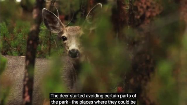 曾經氾濫的鹿種群改變生活範圍,讓被牠們啃光的山谷、峽谷重現繁榮。(YouTube視頻截圖)