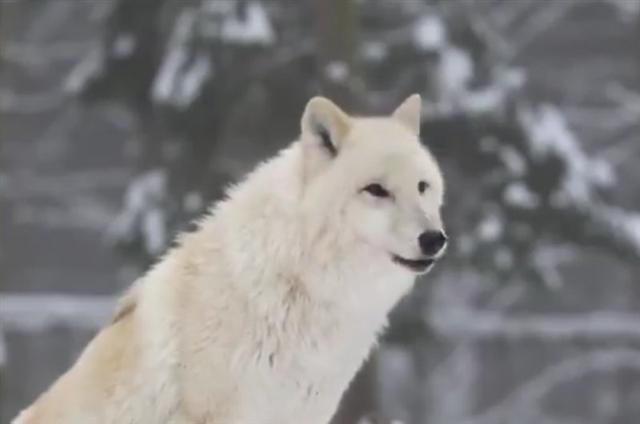 當人們將狼引入黃石公園的時候,沒想到牠們會給公園帶來如此巨大的影響。(YouTube視頻截圖)