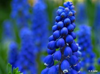 組圖:Syl Lebar 花卉攝影(23)