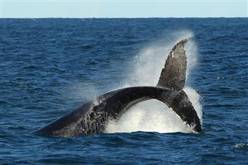 不顧國際批評 日再派船南極捕鯨