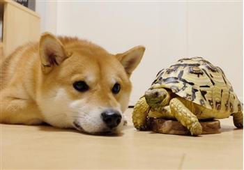 這隻柴犬和烏龜一起長大,但沒想到最後都快被烏龜給同化啦!