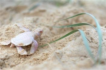 澳洲海濱出現罕見白色海龜 科學家驚喜