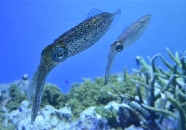 美國國防高等研究計劃署與加州大學實驗室合作,正在研究可以改變體色和反射光線的魷魚皮膚結構蛋白,希望有朝一日可以把這種物質應用在具備隱形效果的軍事科技上。(YOSHIKAZU TSUNO/AFP/Getty Images)