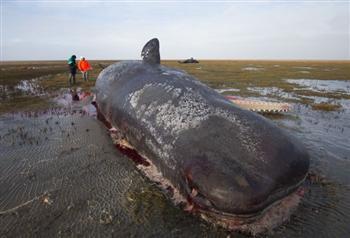 13抹香鯨擱淺德沙灘致死,解剖後竟發現這些東西......