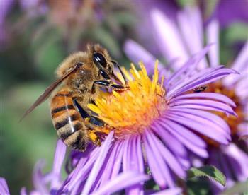 新研究發現 可尼丁對蜜蜂無害