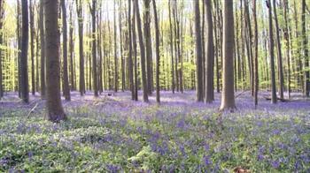 組圖:比利時別具一格的「藍色」森林