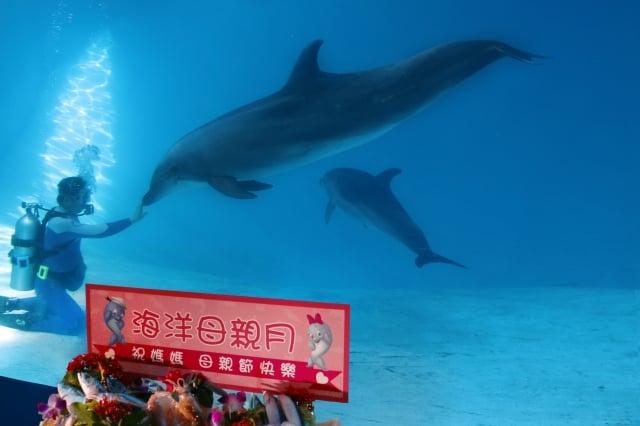 溫馨母親月,海洋公園海豚媽媽寶妹,帶著小海豚,由保育員、獸醫精心設計搭配,讓寶妹吃的開心、健康。(記者詹亦菱/攝影)