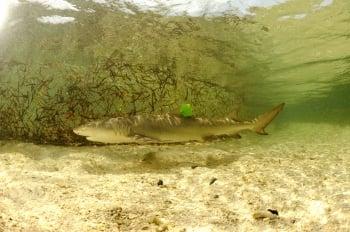 東沙環礁孕育幼鯊 具生態研究價值