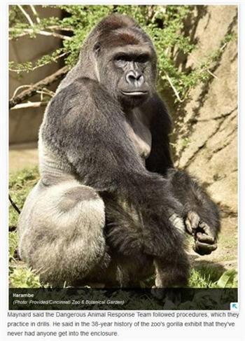 3歲童爬進籠 美國17歲大猩猩慘遭射殺