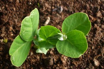 【影片】新研究:植物顯然懂得「賭一把」