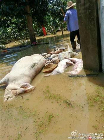 湖北近萬頭豬被淹死 數10萬斤烏龜脫逃