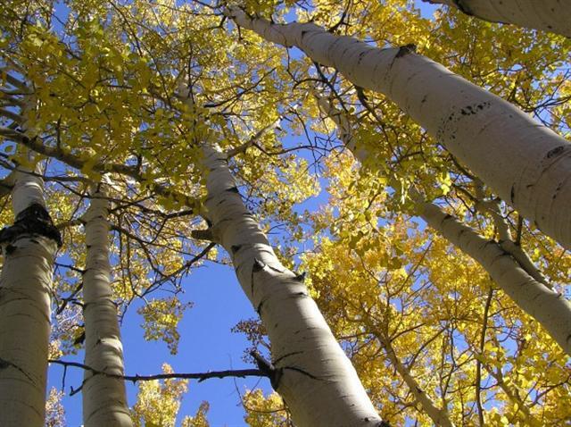 潘多林的白楊樹幹。 (維基百科)