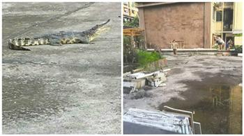 四川一小區「天降鱷魚」 當晚被主人吃掉