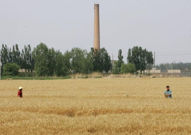 河南新鄉的村莊所產的小麥,檢測出鎘汙染超標高達34倍;而土地鎘含量超標最高達545倍。(Getty Images)