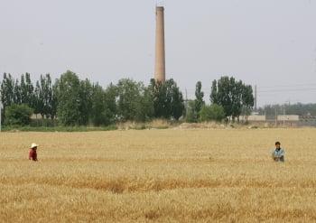 河南新鄉小麥 鎘汙染超標34倍