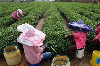 台茶百分百 「產銷履歷茶」支持台灣茶業再起