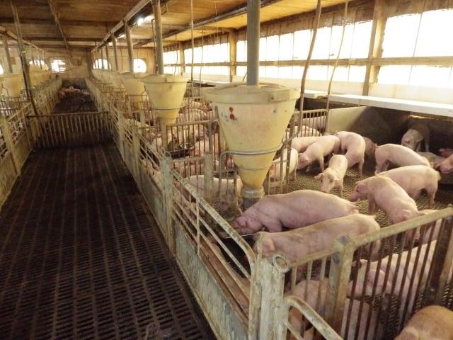 全場畜舍以高床設計,不需每天清洗豬隻即可維持豬隻及床面乾爽、清潔,減少了大量廢水的處理量。