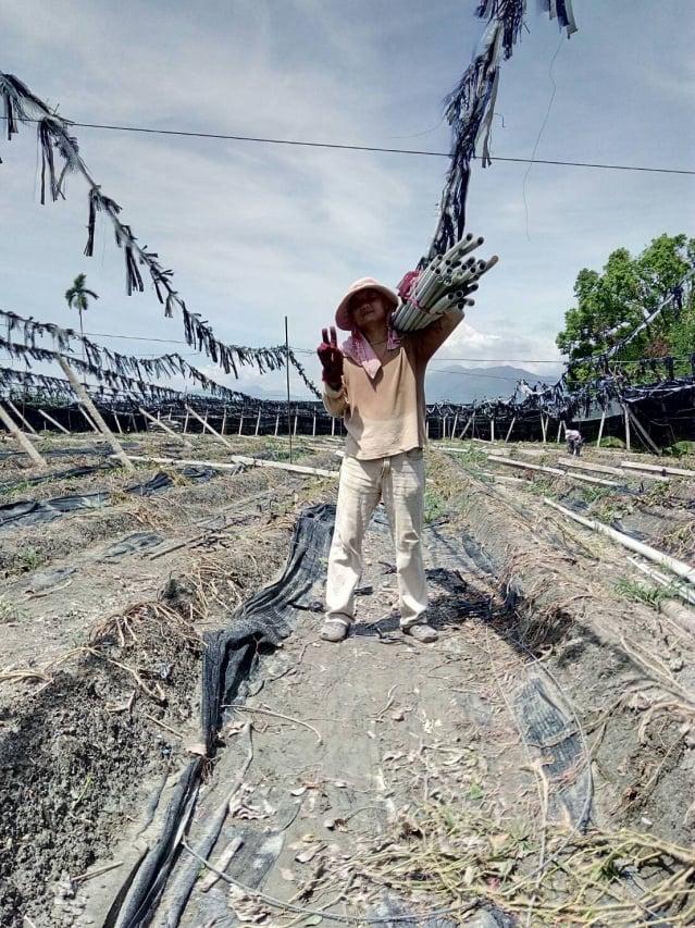 十七暴風受災農友戴健吉經過轉型思考後,決定將荖葉園改種芒果。(戴健吉提供)