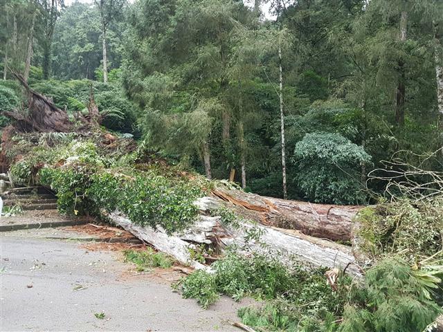 這棵2800歲神木是園區重要景點,如今傾倒。(中央社)