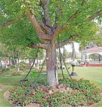 巴基斯坦榕樹被捕百年 仍未獲釋