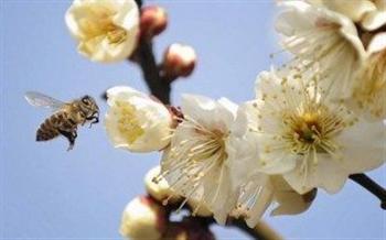 蜜蜂吃糖心情愉悅 研究發現昆蟲也有感覺
