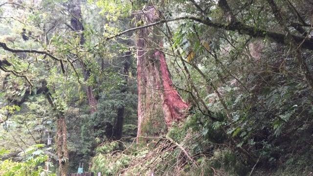 3號巨木周圍遭風倒木壓損。