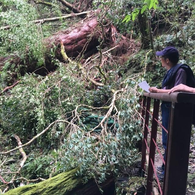 5-6號巨木步道間過溪板橋遭風倒木壓損。(新竹林管處網站提供)