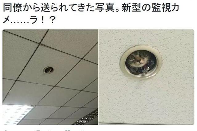 日本推特用戶「@omocha_no_uma」分享的照片顯示,一隻貓咪躲在辦公室天花板上,像是在監視人們上班。(推特網頁擷圖)