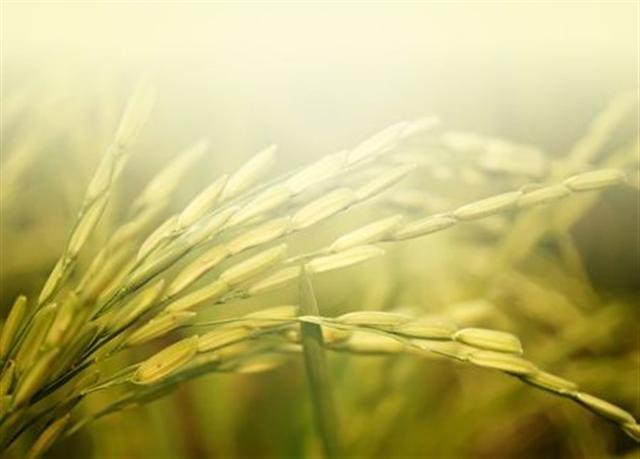 低頭的麥穗,內在充實飽滿,卻始終低頭,不張揚、不炫耀。(fotolia)