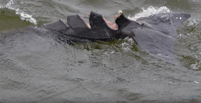 海豚Babyface被船隻的螺旋槳割傷,背鰭受重創,留下三道深深的傷口。(影片截圖)