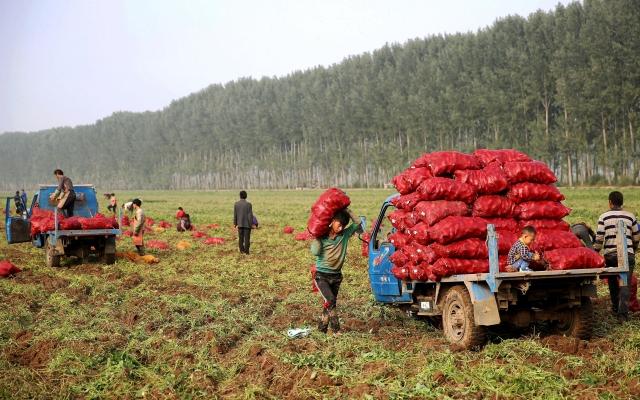 中國「糧王」柳學友表示,進口糧食價格低廉,品質又好,使中國糧價下跌,2016年七成種糧大戶收益不好。(Getty Images)