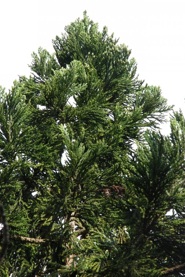臺灣杉的雌毬花僅長在樹梢頂端。(劉威廷提供)