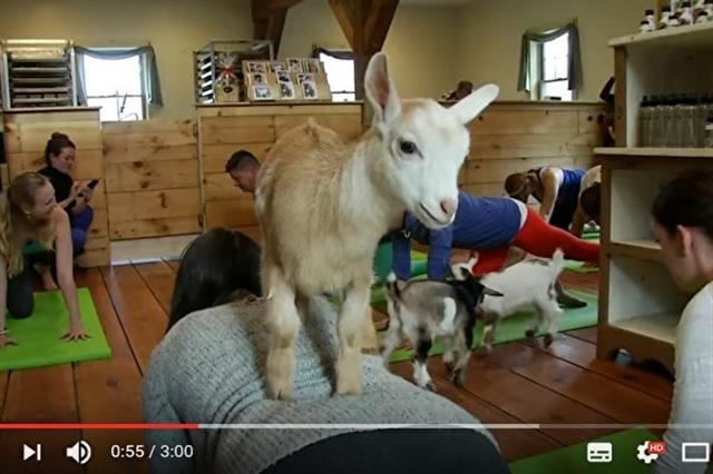 美國正在流行一種有山羊相伴的瑜珈,受到很多人喜愛。(視頻擷圖)