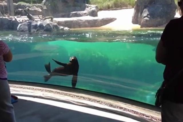 在水族館中與小女孩玩追跑遊戲的海豹。(視頻截圖)