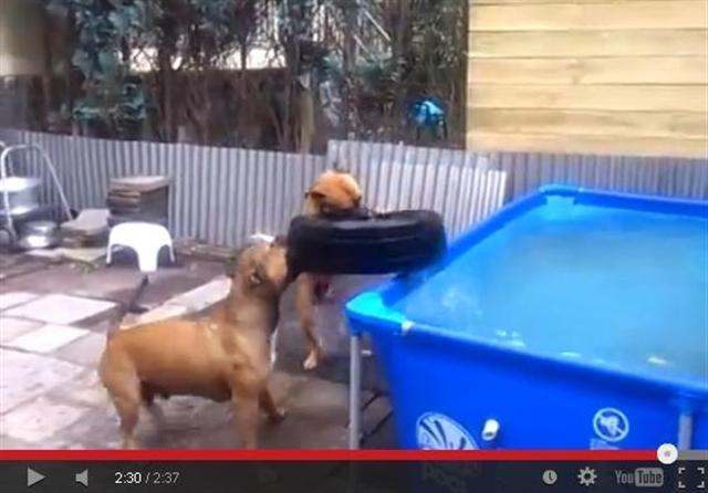 一段視頻顯示,兩隻棕色鬥牛犬合力將輪胎從水裡咬到地面上,充分顯示團隊合作的重要性。(視頻擷圖)